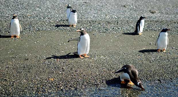 penguins watching ushuaia patagonia argentina